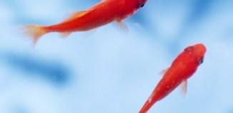 ماهی قرمز نخريد