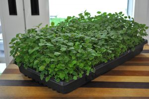 Lemon-Balm-day-54-2